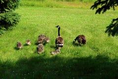 Οικογένεια καναδοχηνών στη χλόη μια φωτεινή ημέρα στοκ εικόνες