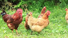 Οικογένεια κοτόπουλου απόθεμα βίντεο