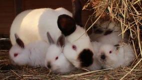 Οικογένεια κουνελιών στο κουνέλι - hutch φιλμ μικρού μήκους