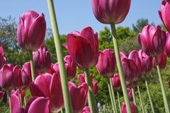 Οικογένεια κρίνων τομέων τουλιπών, Liliaceae Στοκ Εικόνες