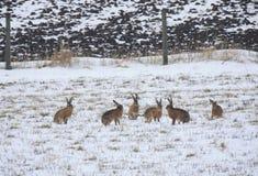 Οικογένεια λαγών στο χιόνι Στοκ εικόνα με δικαίωμα ελεύθερης χρήσης