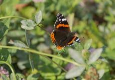 Οικογένεια ναυάρχων πεταλούδων (atalanta της Vanessa) του sitti Nymphalidae Στοκ Εικόνες