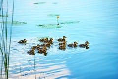 Οικογένεια παπιών με πολλούς μικρούς νεοσσούς Στοκ Εικόνα