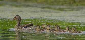 Οικογένεια παπιών πρασινολαιμών Στοκ φωτογραφία με δικαίωμα ελεύθερης χρήσης