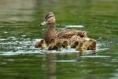 Οικογένεια παπιών στην επιφάνεια νερού Στοκ Εικόνες