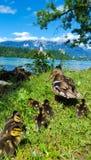 Οικογένεια παπιών στη λίμνη που αιμορραγείται, Σλοβενία Στοκ Φωτογραφίες