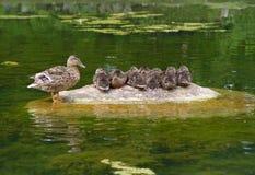 οικογένεια παπιών Στοκ εικόνα με δικαίωμα ελεύθερης χρήσης
