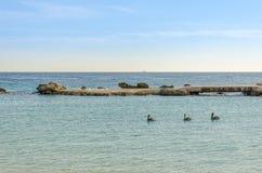 Οικογένεια πελεκάνων που κολυμπά στην καραϊβική θάλασσα Στοκ εικόνα με δικαίωμα ελεύθερης χρήσης