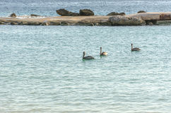 Οικογένεια πελεκάνων που κολυμπά στην καραϊβική θάλασσα Στοκ εικόνες με δικαίωμα ελεύθερης χρήσης