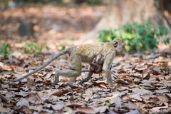 Οικογένεια πιθήκων (καβούρι-που τρώει macaque) που περπατά Στοκ Εικόνες