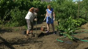Οικογένεια που φυτεύει τα δέντρα σημύδων στον κήπο Ροδάκινα, άμπελος και λουλούδια στο υπόβαθρο απόθεμα βίντεο