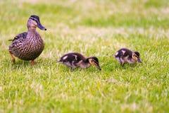 Οικογένεια πρασινολαιμών Στοκ Εικόνες