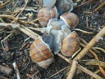 Οικογένεια σαλιγκαριών Στοκ Εικόνες