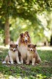 Οικογένεια σκυλιών κόλλεϊ Στοκ εικόνα με δικαίωμα ελεύθερης χρήσης