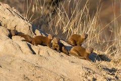 Οικογένεια της νάνας mongoose συνεδρίασης στη φωλιά τερμιτών Στοκ Φωτογραφία