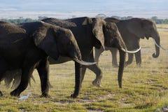 Οικογένεια του αφρικανικού ελέφαντα Στοκ Φωτογραφίες
