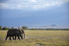Οικογένεια του αφρικανικού ελέφαντα Στοκ εικόνες με δικαίωμα ελεύθερης χρήσης