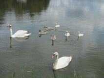 Οικογένεια του Κύκνου σε μια λίμνη Στοκ Φωτογραφίες