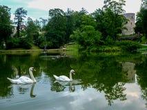 Οικογένεια του Κύκνου στη λίμνη στο cesis της Λετονίας και το κάστρο cesis στοκ εικόνα