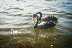 Οικογένεια του Κύκνου Στοκ εικόνα με δικαίωμα ελεύθερης χρήσης
