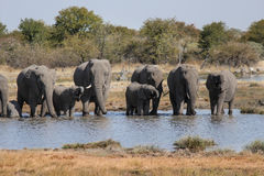 Οικογένεια του πόσιμου νερού ελεφάντων σε ένα waterhole Εθνικό πάρκο Etosha στη Ναμίμπια Στοκ Φωτογραφίες