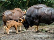 Οικογένεια του gaur Στοκ εικόνες με δικαίωμα ελεύθερης χρήσης