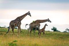 Οικογένεια τρία giraffes στη σαβάνα Στοκ φωτογραφίες με δικαίωμα ελεύθερης χρήσης