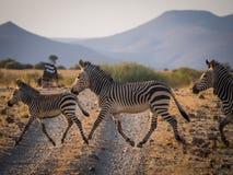 Οικογένεια τριών zebras που διασχίζει το βρώμικο δρόμο στην παραχώρηση Palmwag κατά τη διάρκεια του απογεύματος, Ναμίμπια, Νότιος Στοκ φωτογραφία με δικαίωμα ελεύθερης χρήσης