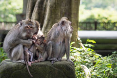 Οικογένεια των άγριων μακάκων σε Ubud, Μπαλί, Ινδονησία Στοκ Φωτογραφία