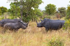 Οικογένεια των άσπρων ρινοκέρων στη σαβάνα Κένυα, Αφρική Στοκ εικόνες με δικαίωμα ελεύθερης χρήσης