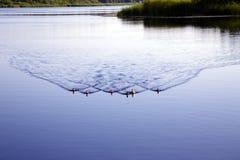 Οικογένεια των αγριοχήνων στην όμορφη λίμνη Valguma Στοκ Φωτογραφίες
