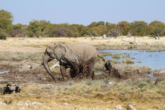 Οικογένεια των ελεφάντων που παίζει στη λάσπη - εθνικό πάρκο Etosha - Ναμίμπια Στοκ εικόνα με δικαίωμα ελεύθερης χρήσης