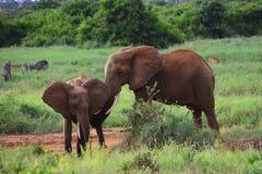 Οικογένεια των ελεφάντων στις άγρια περιοχές της Αφρικής στοκ εικόνα με δικαίωμα ελεύθερης χρήσης
