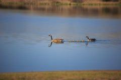 Οικογένεια των καναδικών χήνων Στοκ φωτογραφία με δικαίωμα ελεύθερης χρήσης