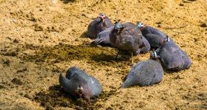 Οικογένεια των κρανοφόρων πουλιών φραγκοκοτών που κάθεται μαζί στην άμμο, τροπικό specie πουλιών από την Αφρική στοκ φωτογραφία με δικαίωμα ελεύθερης χρήσης