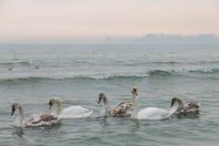 οικογένεια των κύκνων που κολυμπούν στη Μαύρη Θάλασσα Οδησσός Στοκ φωτογραφία με δικαίωμα ελεύθερης χρήσης