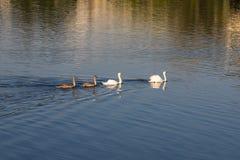 Οικογένεια των κύκνων σε μια λίμνη στοκ φωτογραφίες με δικαίωμα ελεύθερης χρήσης