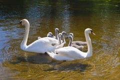 Οικογένεια των κύκνων Στοκ εικόνα με δικαίωμα ελεύθερης χρήσης