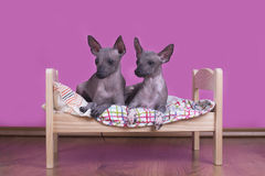 Οικογένεια των μεξικάνικων άτριχων σκυλιών το πρωί στο κρεβάτι στοκ φωτογραφία με δικαίωμα ελεύθερης χρήσης