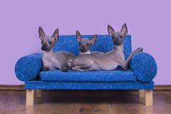 Οικογένεια των μεξικάνικων άτριχων σκυλιών το πρωί στο κρεβάτι στοκ φωτογραφίες με δικαίωμα ελεύθερης χρήσης