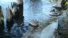 Οικογένεια των παπιών στην όχθη ποταμού απόθεμα βίντεο