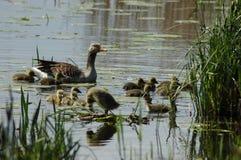 Οικογένεια των παπιών στη λίμνη Στοκ Εικόνες