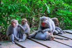 Οικογένεια των πιθήκων macaque Στοκ εικόνα με δικαίωμα ελεύθερης χρήσης