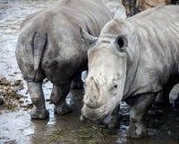 Οικογένεια των ρινοκέρων από τον ποταμό Μεγάλοι ρινόκεροι Στοκ εικόνες με δικαίωμα ελεύθερης χρήσης