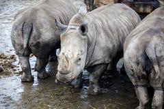 Οικογένεια των ρινοκέρων από τον ποταμό Μεγάλοι ρινόκεροι Στοκ φωτογραφία με δικαίωμα ελεύθερης χρήσης