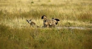 Οικογένεια των ρόπαλο-εχουσών νώτα αλεπούδων Στοκ φωτογραφίες με δικαίωμα ελεύθερης χρήσης