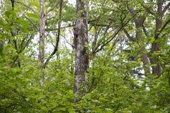 Οικογένεια των σκιούρων στο δέντρο στοκ φωτογραφίες