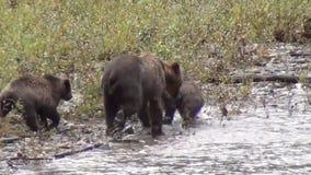 Οικογένεια των σταχτιών αρκούδων απόθεμα βίντεο