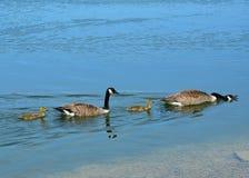 Οικογένεια των χήνων Στοκ εικόνες με δικαίωμα ελεύθερης χρήσης