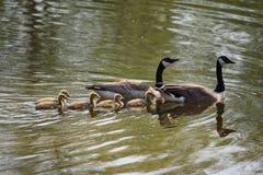 Οικογένεια των χήνων Στοκ Εικόνες